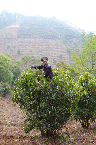 New & Improved Pu Erh Tea